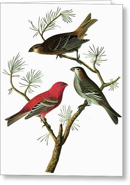 Audubon Grosbeak Greeting Card by Granger