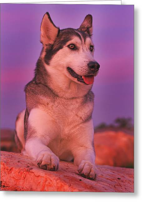 Husky Greeting Cards - Aurora  Greeting Card by Brian Cross