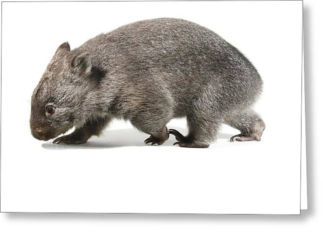 Immature Greeting Cards - Baby common wombat Greeting Card by Science Photo Library
