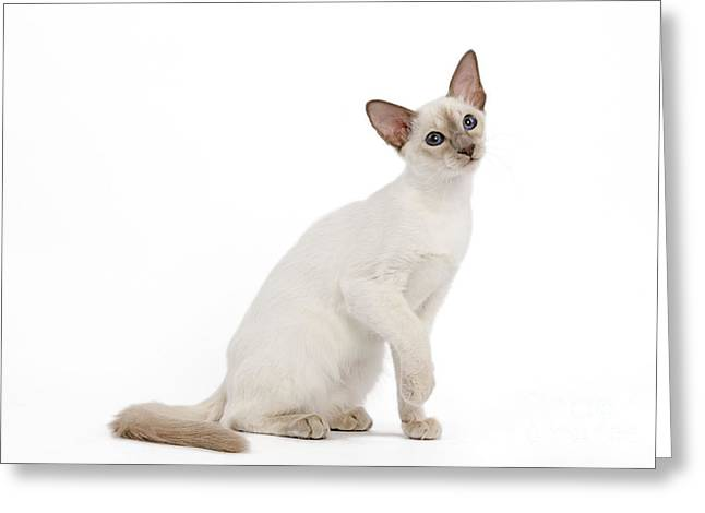 Head Tilt Greeting Cards - Balinese Kitten Greeting Card by Jean-Michel Labat