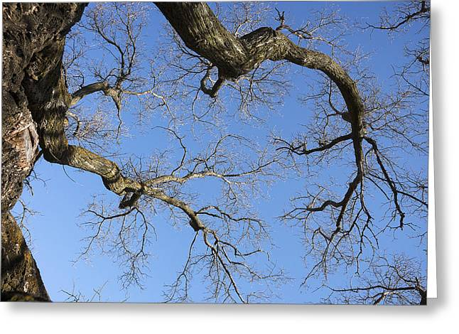 Bare Trees Greeting Cards - Bare Oak Tree Branches in Late Fall Greeting Card by Donald  Erickson
