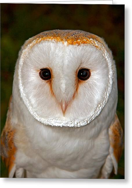 Scoullar Greeting Cards - Barn Owl Greeting Card by Paul Scoullar