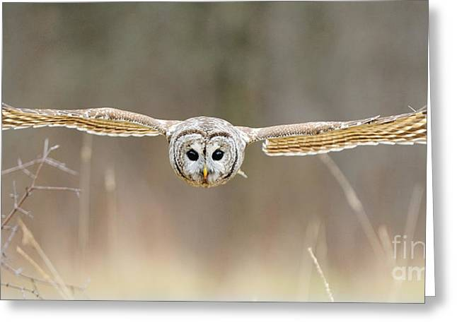 Chordata Greeting Cards - Barred Owl In Flight Greeting Card by Scott Linstead