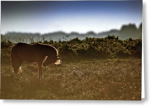 Hackney Greeting Cards - Beautiful image of New Forest pony horse backlit by rising sun i Greeting Card by Matthew Gibson