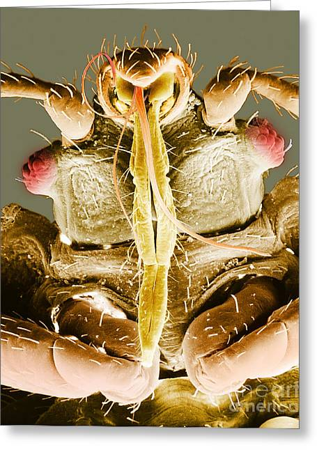 Scanning Electron Micrograph Greeting Cards - Bedbug Mouthparts, Sem Greeting Card by David M. Phillips