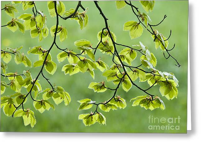 Kingston Greeting Cards - Beech Tree Leaves Fagus Sylvatica Greeting Card by Adrian Bicker