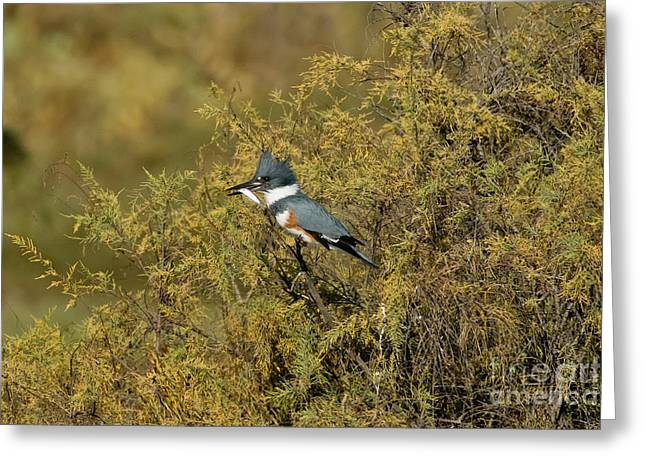 Belted Kingfisher With Fish Greeting Card by Anthony Mercieca