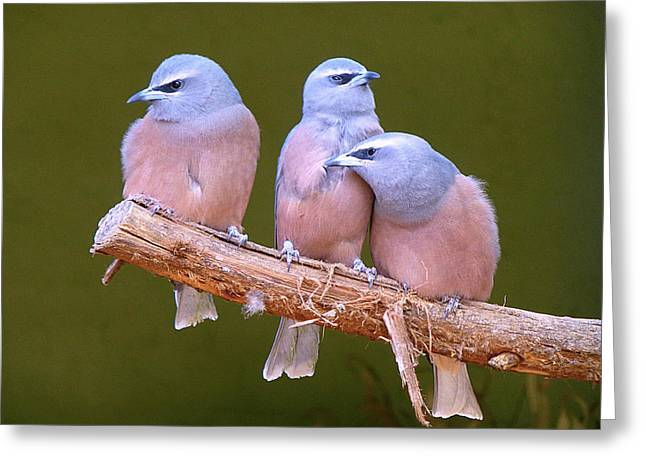Grey Pyrography Greeting Cards - Pink Grey Birds Greeting Card by Girish J