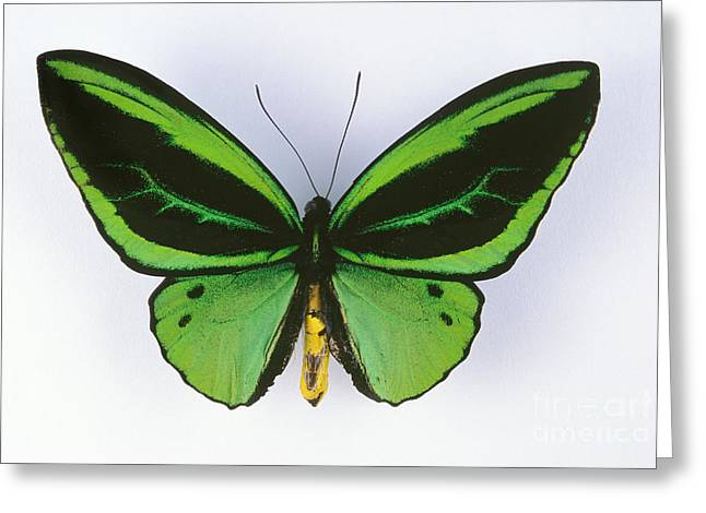 Silhouettable Greeting Cards - Birdwing Butterfly Greeting Card by Barbara Strnadova