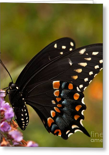 American Food Greeting Cards - Black Swallowtail Butterfly Greeting Card by Iris Richardson