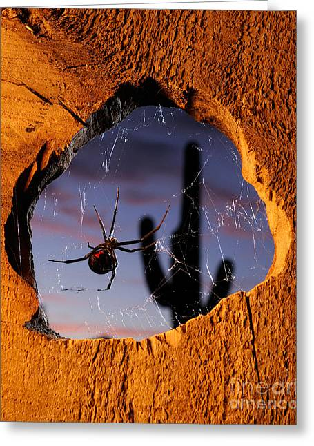 Black Widow Spider Greeting Cards - Black Widow Spider Greeting Card by Scott Linstead
