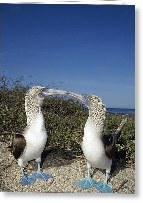 Best Sellers -  - Wildlife Celebration Greeting Cards - Blue-footed Boobies Courting Galapagos Greeting Card by Tui De Roy