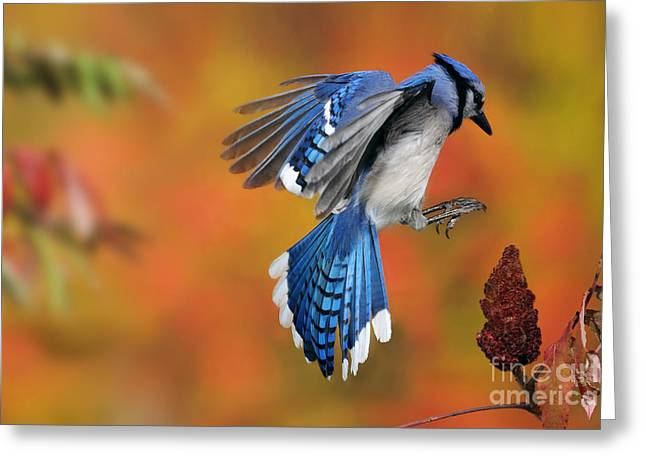 Us Wildllife Greeting Cards - Blue Jay Greeting Card by Scott Linstead
