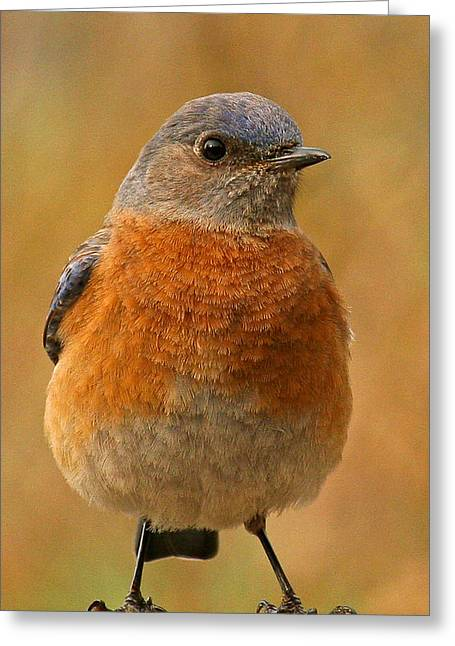 Beg Greeting Cards - Bluebird Greeting Card by Jean Noren