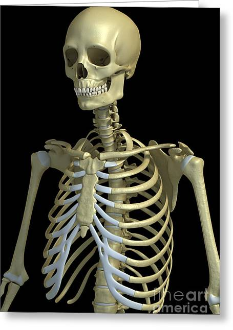 Temporal Bone Greeting Cards - Bones Of The Upper Body Greeting Card by Science Picture Co