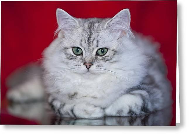 Felidae Greeting Cards - British Longhair Kitten Greeting Card by Melanie Viola