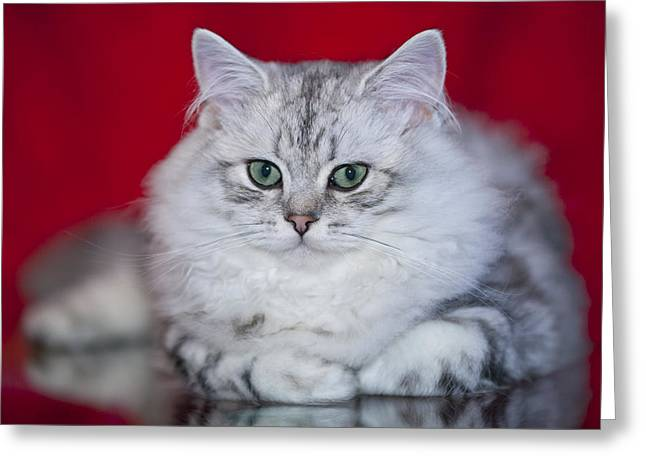 British Longhair Kitten Greeting Card by Melanie Viola