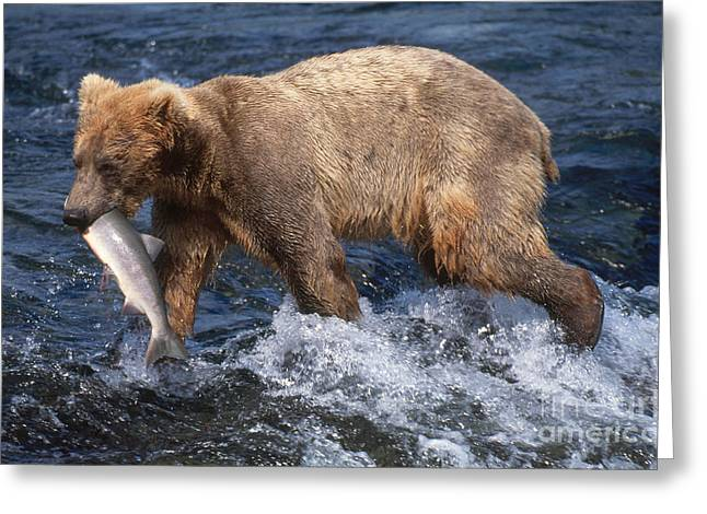 Brown Bear Greeting Card by Art Wolfe