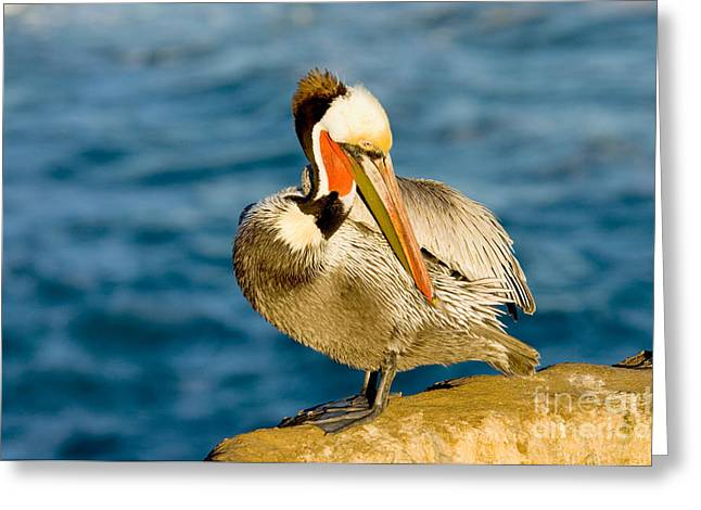 Preening Greeting Cards - Brown Pelican Preening Greeting Card by Anthony Mercieca