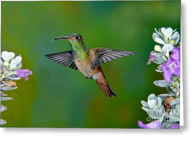 Buff-bellied Hummingbird Greeting Card by Anthony Mercieca