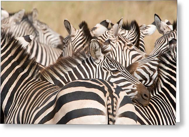 Burchells Zebras Equus Burchelli Greeting Card by Panoramic Images