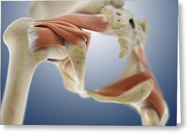 Male Buttocks Greeting Cards - Buttock muscles, artwork Greeting Card by Science Photo Library