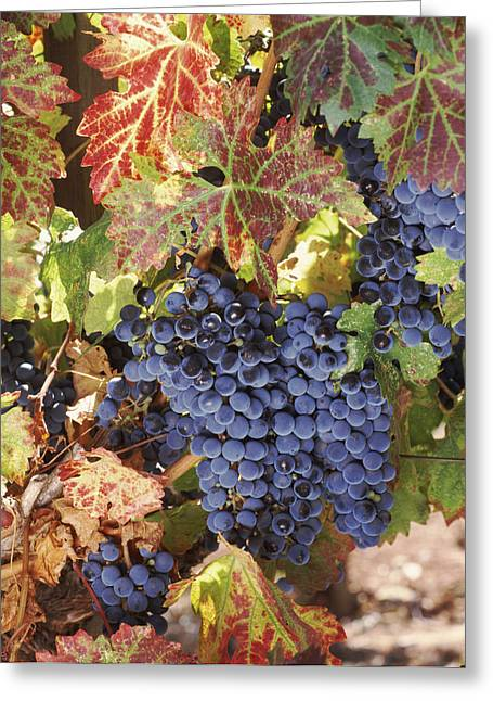 Grape Vineyard Greeting Cards - Cabernet Sauvignon Grapes In Vineyard Greeting Card by Panoramic Images