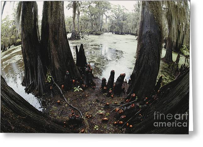 Tree Roots Greeting Cards - Caddo Lake, Texas Greeting Card by Gregory G. Dimijian, M.D.