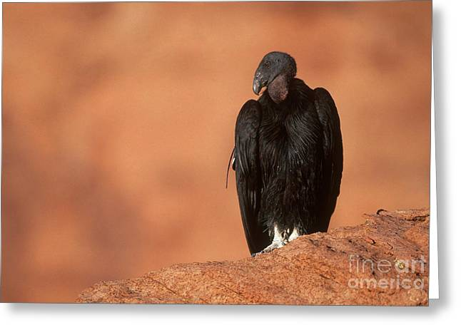 Condor Greeting Cards - California Condor Greeting Card by Art Wolfe