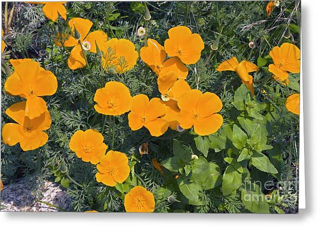 Californian Greeting Cards - Californian Poppy Eschscholzia Sp Greeting Card by Dr. Keith Wheeler