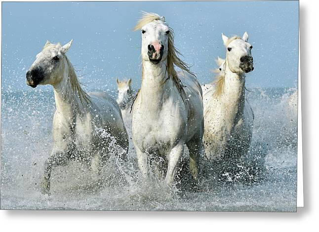 Camargue Horses Greeting Card by Dr P. Marazzi