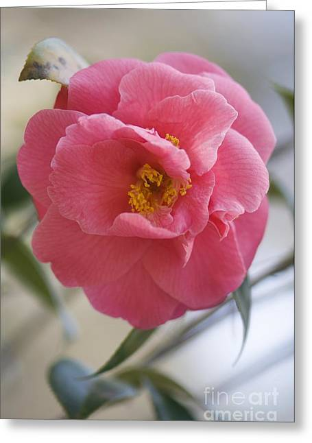 Camellia Japonica Greeting Cards - Camellia Japonica Greeting Card by Maria Mosolova