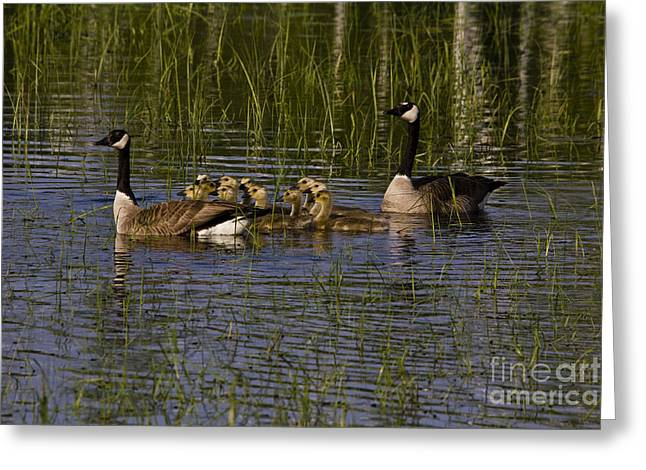 Branta Greeting Cards - Canadian Geese Greeting Card by Linda Freshwaters Arndt