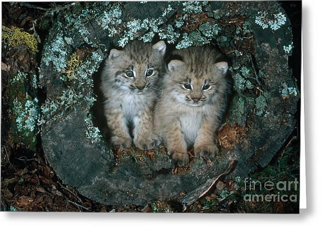 Canadian Lynx Greeting Cards - Canadian Lynx Greeting Card by Art Wolfe