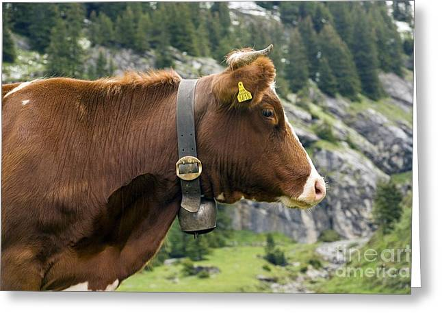 Cowbell Greeting Cards - Cattle, Switzerland Greeting Card by Bob Gibbons