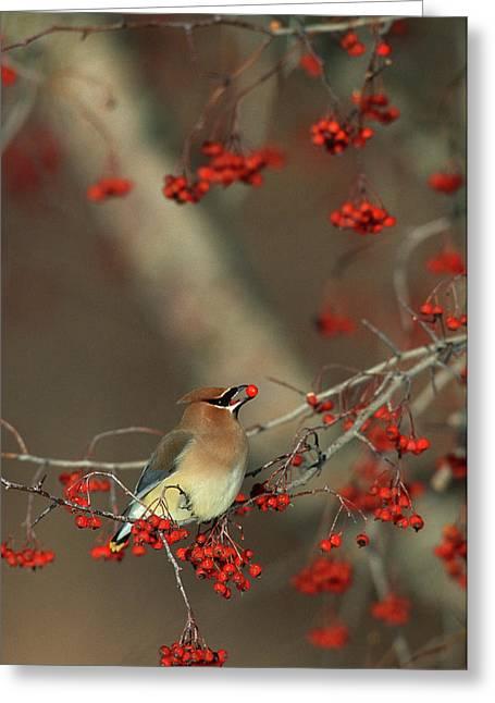 Cedar Waxwing (bombycilla Cedrorum Greeting Card by Richard and Susan Day