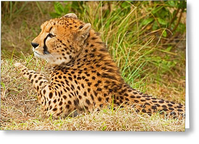 Wildlife In Captivity Greeting Cards - Cheetah Greeting Card by Millard H. Sharp