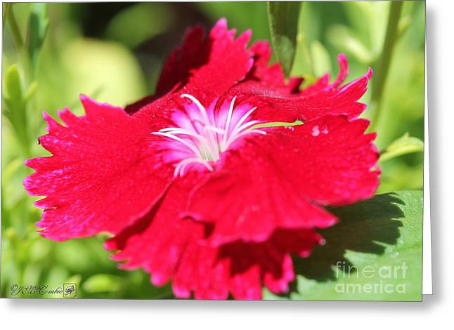 Flower Blossom Greeting Cards - Cherry Dianthus from the Floral Lace Mix Greeting Card by J McCombie