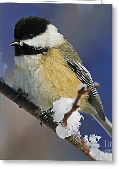 Snow Capped Greeting Cards - Winter Chickadee... Greeting Card by Nina Stavlund