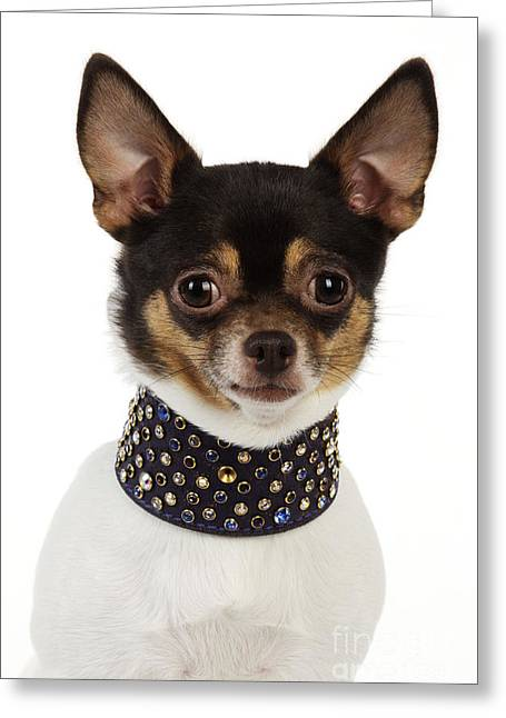 Studded Collar Greeting Cards - Chihuahua Greeting Card by John Daniels