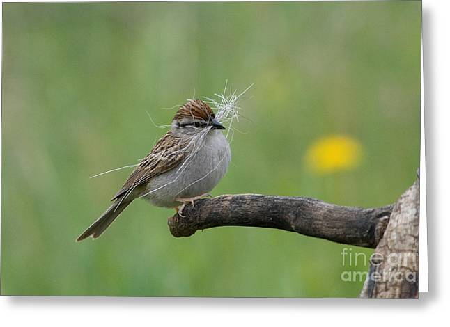 Chipping Sparrow Greeting Card by Linda Freshwaters Arndt