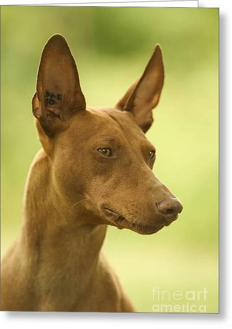 Greyhound Dog Greeting Cards - Cirneco Delletna Dog Greeting Card by Jean-Michel Labat
