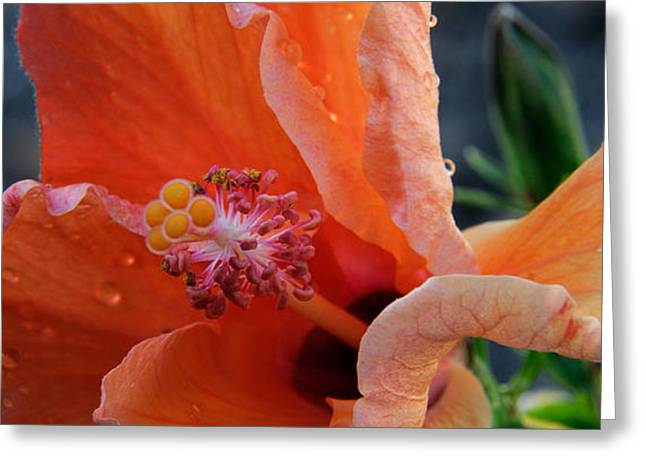 Flowers On Head Greeting Cards - Close-up Of A Hibiscus Flower, Pinole Greeting Card by Panoramic Images