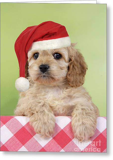 Spaniel Greeting Cards - Cockapoo Puppy Dog Greeting Card by John Daniels