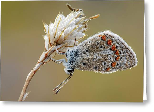 Common Blue Butterfly Greeting Card by Heath Mcdonald