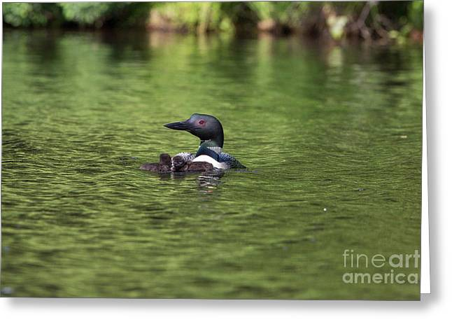 Animalia Greeting Cards - Common Loon Gavia Immer With Young Greeting Card by Linda Freshwaters Arndt