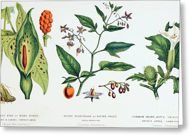 Botany Greeting Cards - Common Poisonous Plants Greeting Card by English School