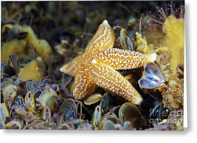 Zoology Greeting Cards - Common Starfish Feeding Greeting Card by Alexander Semenov
