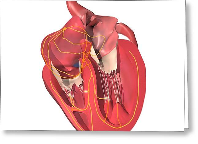 Hiss Greeting Cards - Conducting System Of The Heart Greeting Card by Medical Images, Universal Images Group