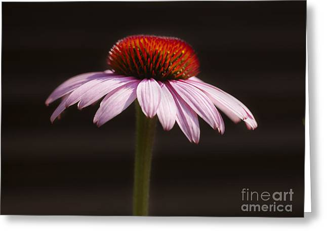 Cornflower Greeting Card by Tony Cordoza